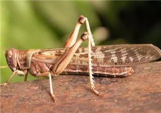 孕妇能不能吃蝗虫 哪些地方的人喜欢吃蝗虫(外国人吃蝗虫吗)